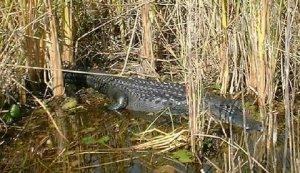 Gator-2